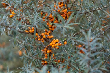 Sea Buckthorn at Sandilands credit National Trust John Miller